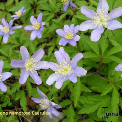 Anemone nemorosa 'Caerulea'  -