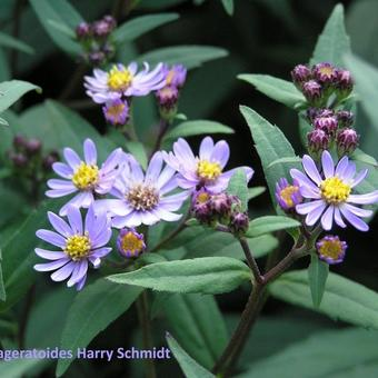 Aster ageratoides 'Harry Schmidt'