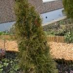 Thuja occidentalis 'Smaragd' - Westerse Levensboom