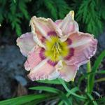 Hemerocallis 'Angel Rodgers' - Daglelie