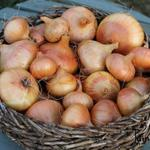 Allium cepa - Allium cepa - Ui - ajuin