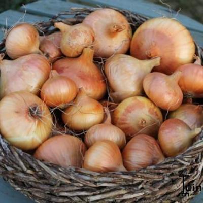 Allium cepa -