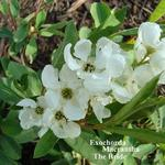 Exochorda x macrantha 'The Bride' - Parelstruik