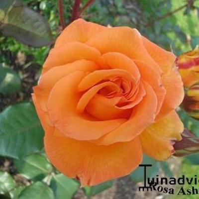 Rosa 'Ashram' -