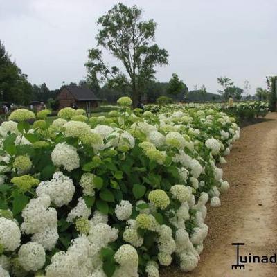 Hydrangea arborescens 'Annabelle' -
