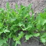 Eruca vesicaria - Eruca vesicaria - Rucola, raketsla, zwaardherik