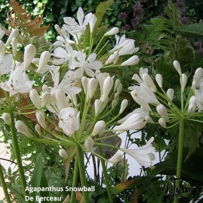 Agapanthus 'Snowball' - Afrikaanse lelie