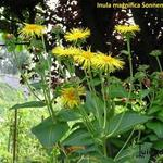Inula magnifica 'Sonnenstrahl' - Alant