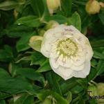 Helleborus orientalis 'Double White Spotted' - Nieskruid - Helleborus orientalis 'Double White Spotted'