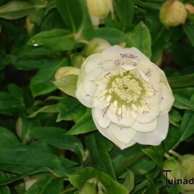 Helleborus orientalis 'Double White Spotted' - Kerstroos