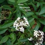 Abelia mosanensis 'Monia' - Abelia mosanensis 'Monia' - Abelia