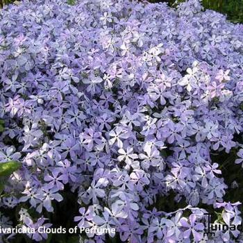 Phlox divaricata 'Clouds of Perfume'