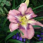 Hemerocallis 'Mildred Mitchell' - Daglelie