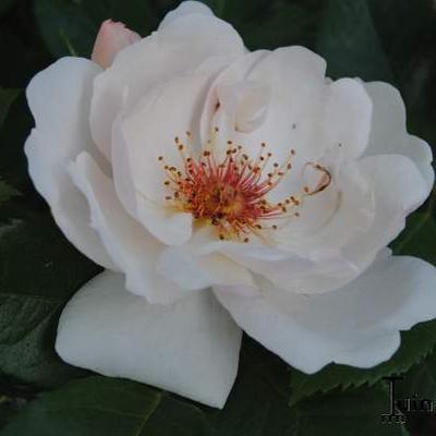 Rosa 'Jacqueline du Pré'  -
