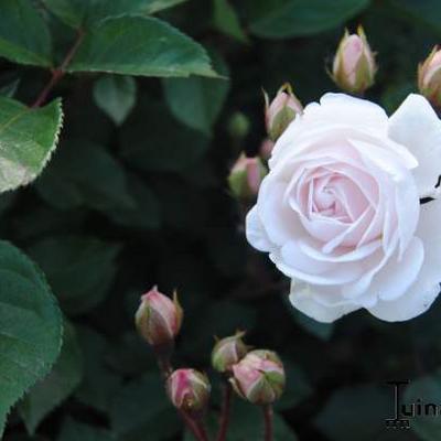 Rosa 'Marie Pavié' -