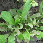 Taraxacum officinale sativum - Taraxacum officinale sativum - Paardenbloem/Molsla