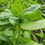 Portulaca oleracea subsp. sativa  - Portulaca oleracea subsp. sativa  - Postelein, zomerpostelein