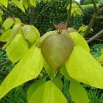 Catalpa bignonioides 'Aurea' - Gele trompetboom