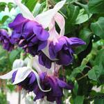 Fuchsia 'Deep Purple' - Bellenplant