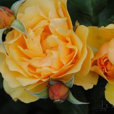 Rosa 'Amber Queen' -