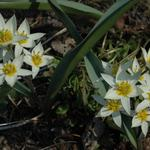 Tulipa turkestanica  - Tulp - Tulipa turkestanica