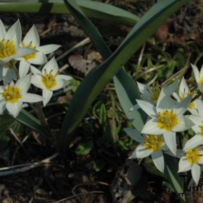 Tulipa turkestanica  -