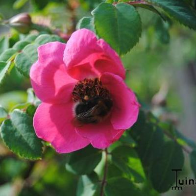 Rosa moyesii -