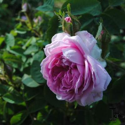 Rosa 'Soupert et Notting' -