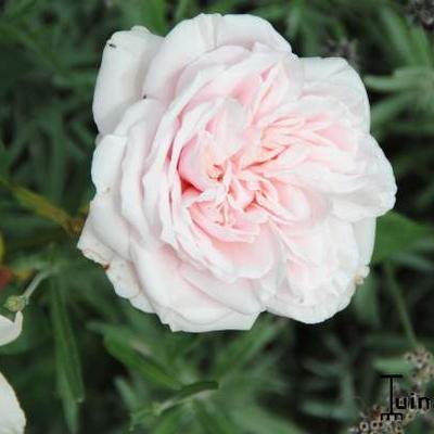 Rosa 'Souvenir De La Malmaison' -