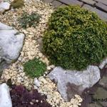 Buxus microphylla 'Curly Locks' - Buxus, randpalm