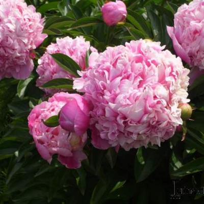 Paeonia lactiflora -