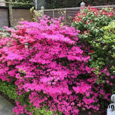 Rhododendron/Azalea - Rododendron/Azalea - Rhododendron/Azalea