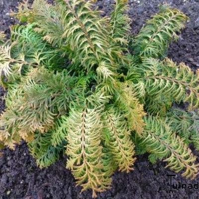 Chamaecyparis obtusa 'Fernspray Gold' -