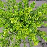 Buxus microphylla 'Golden Dream' - Buxus, randpalm