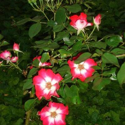 Rosa 'Rosy Cushion' -