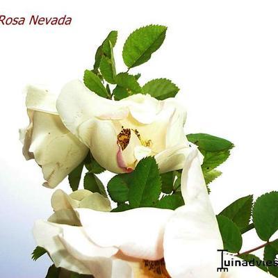 Rosa 'Nevada' -