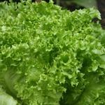 Lactuca sativa 'Lollo Bionda' - Lactuca sativa 'Lollo Bionda' - Groene krulsla