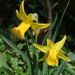 Narcissus 'February Gold' - Narcis