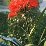 Clivia miniata - Clivia miniata - Sint-Jozefplant, Boslelie