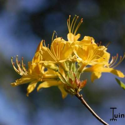 Rhododendron luteum -