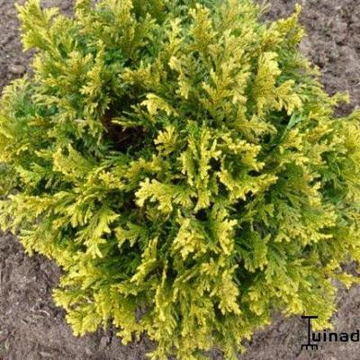 Chamaecyparis pisifera 'Golden Pincushion' -