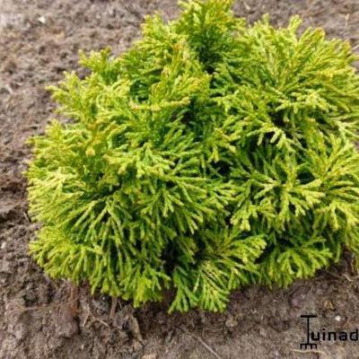 Chamaecyparis obtusa 'Butter Ball' -
