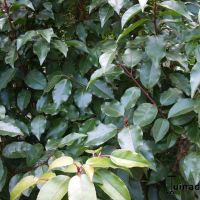 Prunus lusitanica 'Angustifolia' -