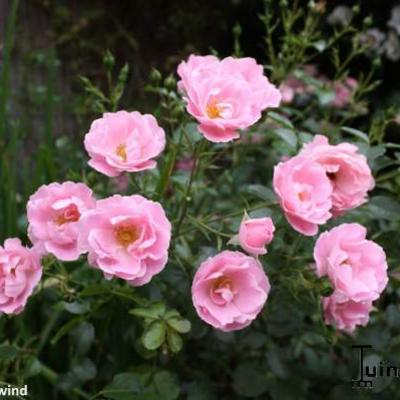 Rosa ''Summerwind' - Roos