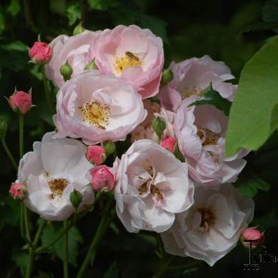 Rosa 'Dir. H.J. Bos' -