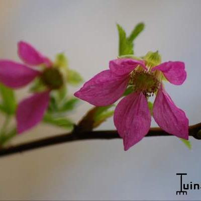 Rubus spectabilis -
