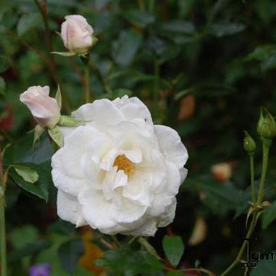 Rosa 'Schneewittchen' -
