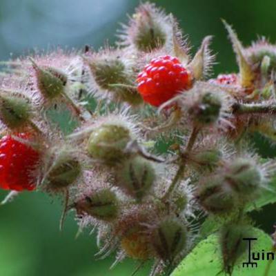 Rubus phoenicolasius -