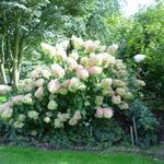 Pluimhortensia  - Hydrangea paniculata 'Phantom'