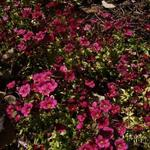 Saxifraga x arendsii CARPET 'Purple Robe' - Steenbreek